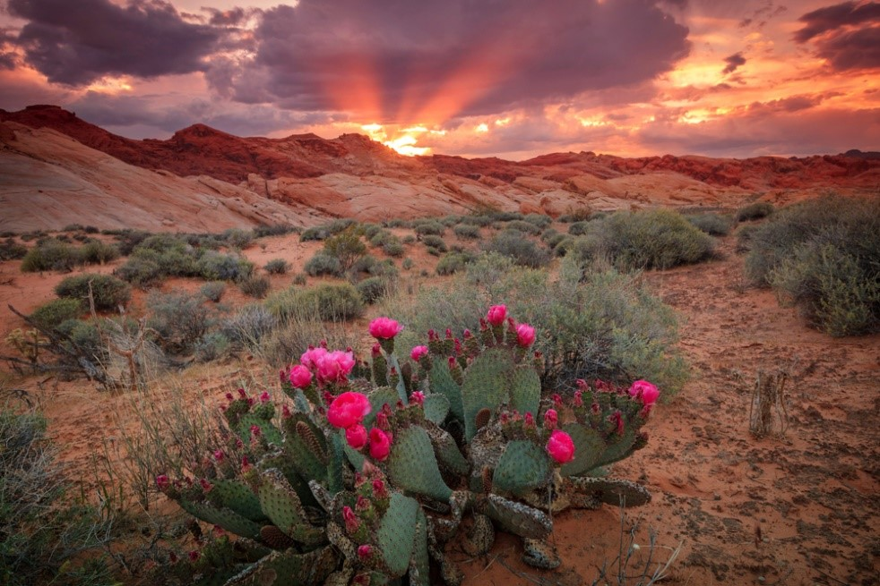 Amazing view of the Nevada desert cactus at sunset